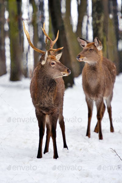 Young deers in the winter forest