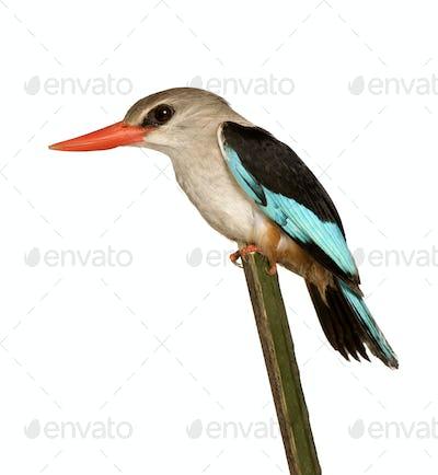 Woodland Kingfisher - Halcyon senegalensis
