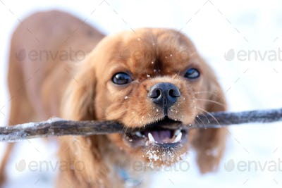 Cute dog with a stick