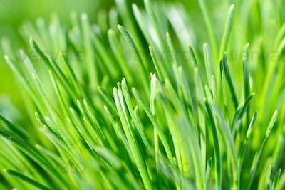 Green needles of pine tree close up