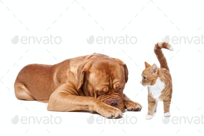 A big dog and a small cat