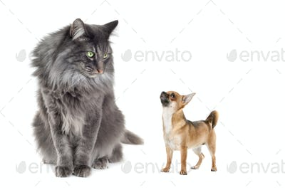 Norwegian Forest Cat and a Chihuahua dog