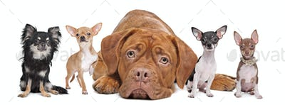 four chihuahua dogs and a Dogue de Bordeaux