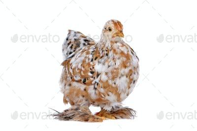 Colourful Chicken