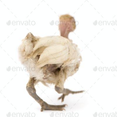 Hen from Benin