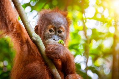 Orangutan cute baby in tropical rainforest. Sumatra, Indonesia