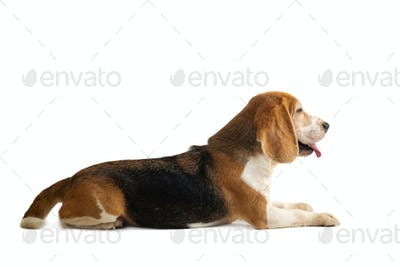 cute beagle sitting on the floor with tongue sticking out