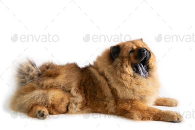 chow chow dog yawning while sitting on the floor