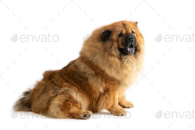 cute chow chow dog sitting on the floor with tongue sticking out