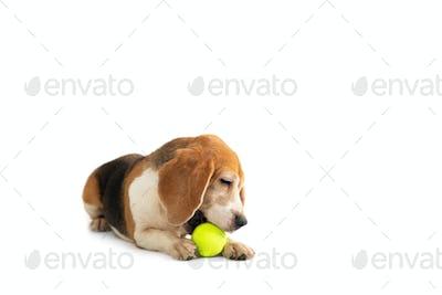 little beagle playing tennis ball
