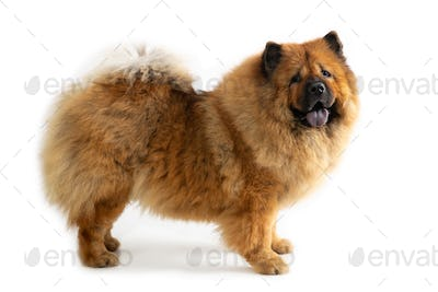 cute chow chow dog with tongue sticking out