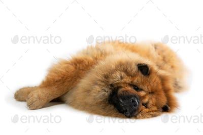 lazy chow chow dog lying on the floor