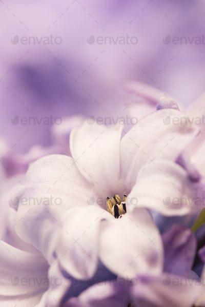 Hyacinthus flowers close up,