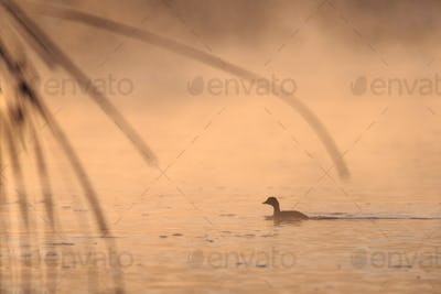 juvenile great crested grebe in sunrise