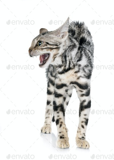 angry bengal kitten in studio