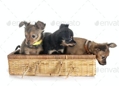 puppies Russkiy Toy