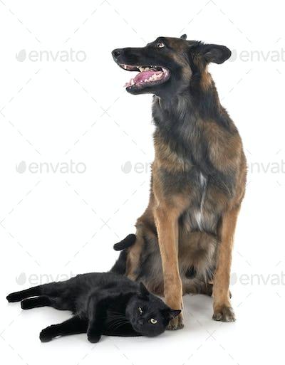 belgian shepherd and cat