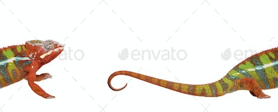 Chameleon, Furcifer Pardalis Ambilobe, 18 months old, against white background, studio shot