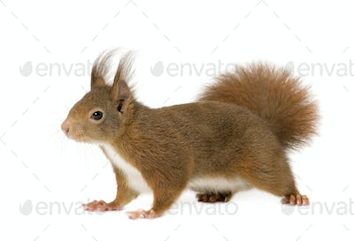 Eurasian red squirrel - Sciurus vulgaris (2 years)