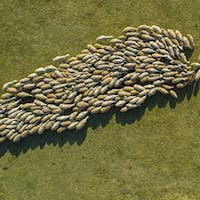 Herd Of Sheep Moving In A Circle