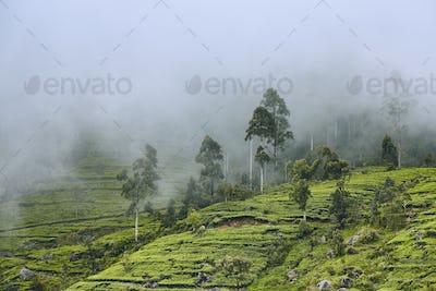 Tea plantation in clouds