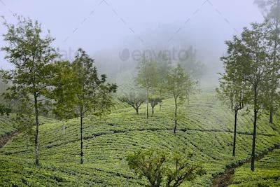 Tea plantations in clouds