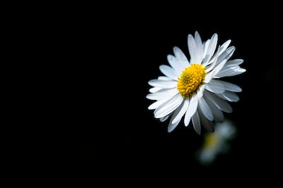 Daisy with many petals sunlit with black background