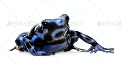 blue and Black Poison Dart Frog - Dendrobates auratus