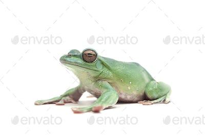 blue Giant flying frog isolated on white background