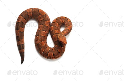 The viper boa isolated on white background