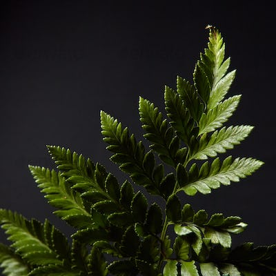 Fern. Green branch of a plant on a black background with highlights of light and space for text