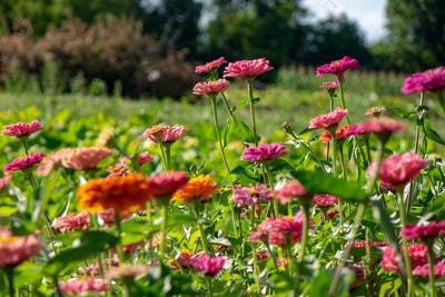 Pink delicate flowers of zinnia in the village garden against the background of trees on a summer
