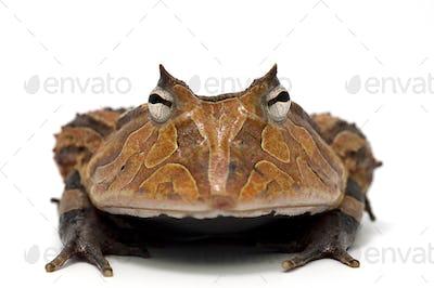 Amazonian Horned Frog isolated on white background