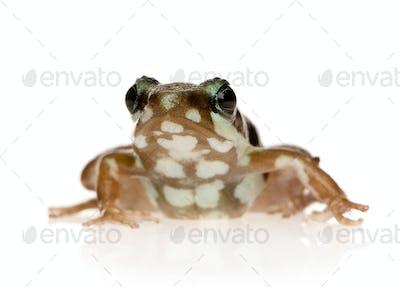 Phantasmal poison frog - Epipedobates tricolor