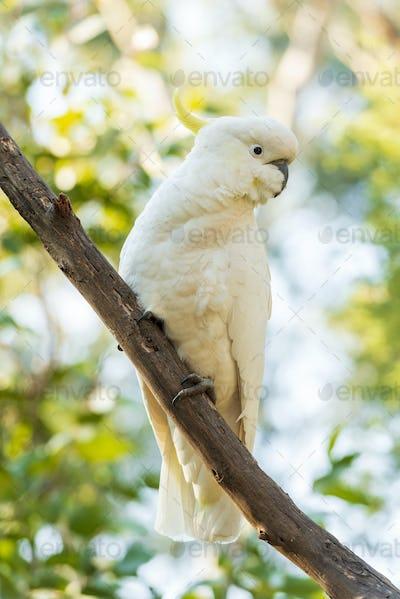 Sulphur-Crested Cockatoo Bird