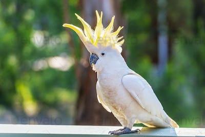 Yellow-Crested Cockatoo Bird