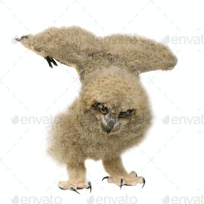 Eurasian Eagle Owl - Bubo bubo (6 weeks)
