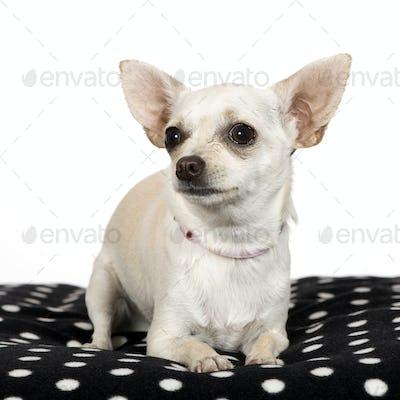 chihuahua (1 year)