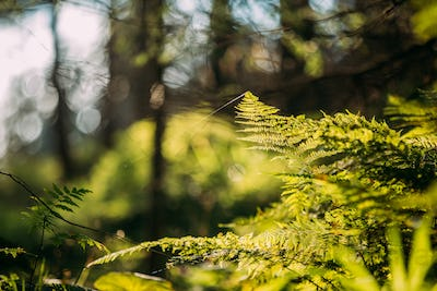 Wild Green Fern Leaves Plants In Tatra Mountains Forest In Polan