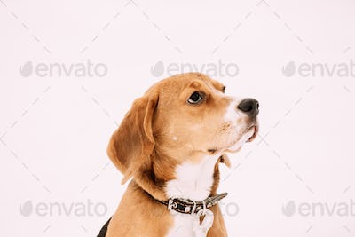 Close Up Portrait Of Beautiful Tricolor Puppy Of English Beagle