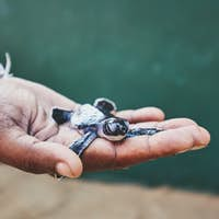 Rescue of one day old green turtle