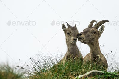Ibex adult and small ibex on italian Alps