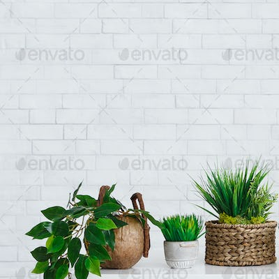 Ficus and other houseplants in pots on table against wall