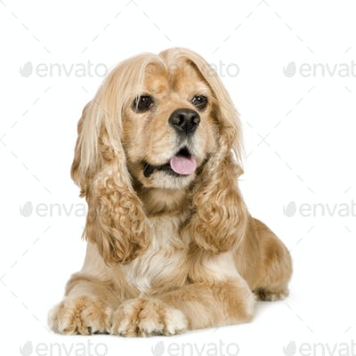 american Cocker Spaniel (3 years)