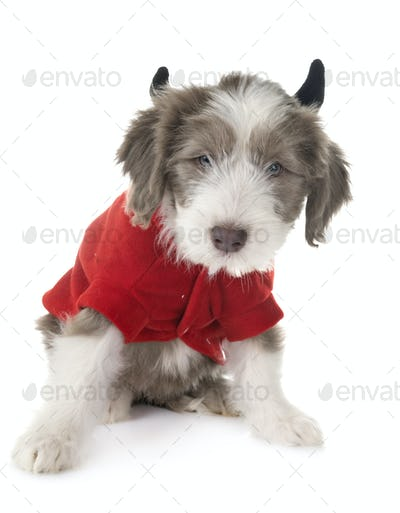 puppy bearded collie