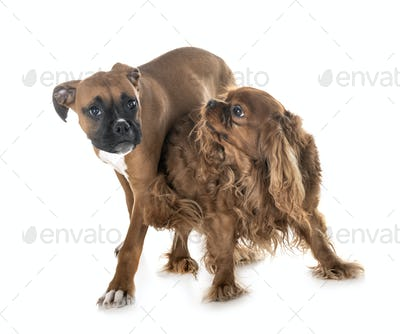 puppy boxer and cavalier king charles