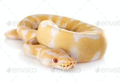 royal python in studio