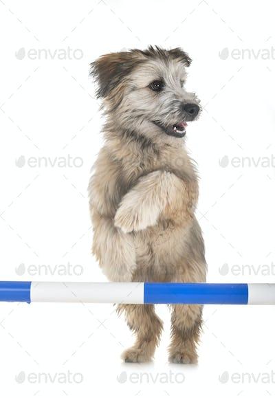 puppy pyrenean shepherd