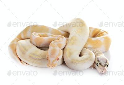 royal pythons in studio