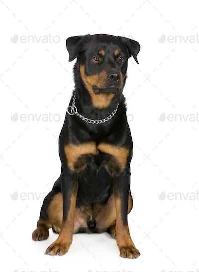 rottweiler (1 year)